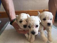 KC reg Bichon Frise Puppies