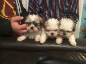 MALTESE X SHIH TZU PUPS READY NOW