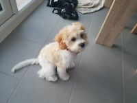 Beautiful, fully trained girl cavapoo puppy for sale with the most calm and well behaved nature.