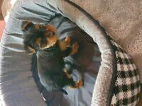 Male Tea cup yorkie Yorkshire terrier
