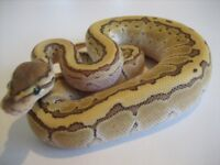 Kingpin male ball python CB17 66% poss het hypo