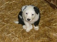 3 boys fully vacinated long and smooth coated Border Collie cross cuddly puppies for sale