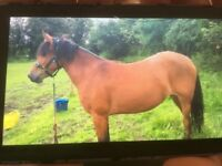 New Forest 13.2