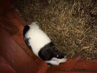 3 guinea pigs and hutch