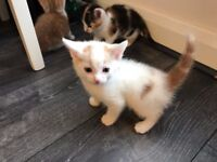 Lovely male kitten trained wormed eats dry & wet food ready to go
