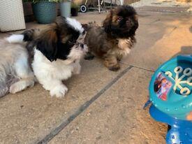 Shihzhu puppies