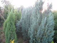 pembury blue conifers appox 6ft tall