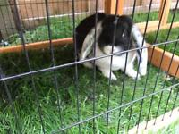 Giant French lop Doe ( female ) rabbit