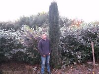 Laurels 6ft to 7ft very large various sizes. from £20.00 each