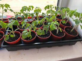 Raspberry tomato Giant/Pomidor malinowy Olbrzym