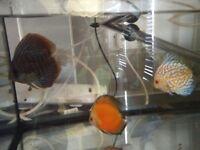 3 Discus fish