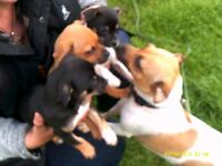Chihuahua x Jack Russell pups for sale. 9 weeks old.