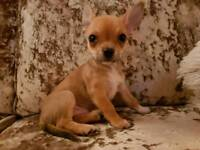 Chihuahua Puppies for Sale (Boy)