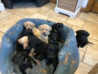 3/4 lab 1/4 Gordon setter puppies