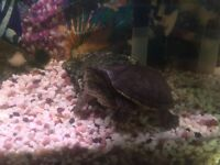 Musk turtle free to collect