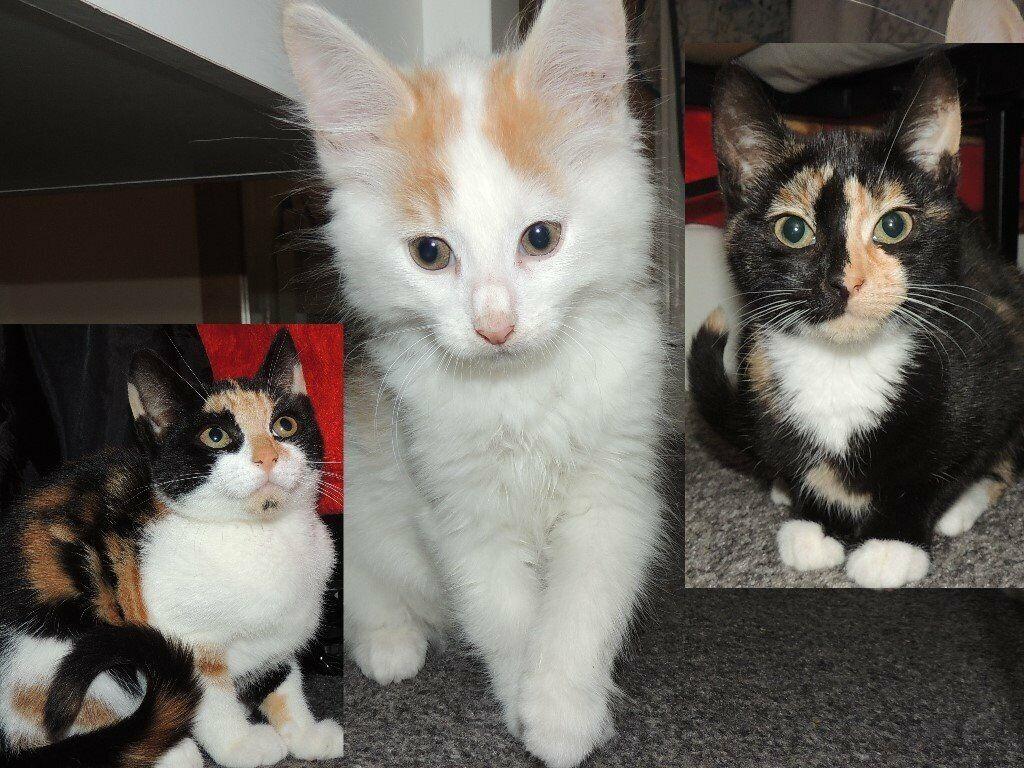 Adorable Bengal Cross Calico Kittens In Northfleet Kent Gumtree