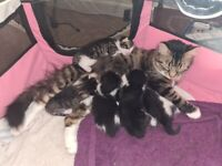 Maine Coon X British Shorthair Kittens For Sale