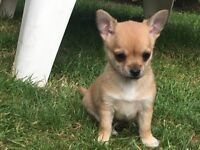 Boy chihuahua puppy. Now ready for new home ....