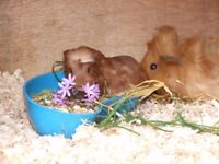 baby guinea pig male last one £10