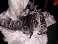 Six beautiful Silver BSH/Somali kittens for sale