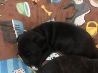 Staffordshire bullterrier puppy's