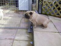 Two pug girls for sale