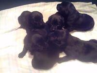 Black Labrador Puppies. (Health Tested Parents)