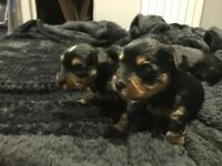 beautiful yorkie puppies. mum yorkie/jack russell dad teacup yorkie ONLY 2 LEFT