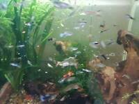 Cherry shrimp and guppies tropical fish