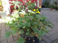 A large (12 litre) pot of blue flowers hardy perennial geranium plants