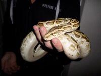 CB15 male hypo dh albino/green Burmese Python with Vivarium & set-up