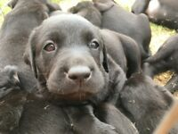 LABRADOR PUPPIES BLACK KC REGISTERED