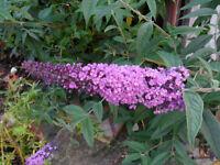 Buddleia Plant, Butterfly Bush, Cottage Garden Shrub, Lilac / Purple - Pokesdown