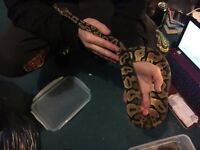 Pastel Ball Python CB 14