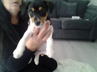 Jack russell cross lakeland terriers