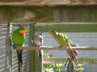 lost baraband parrot near ballymacormick area bangor county down