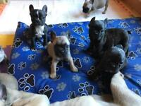 French bulldog puppies (READY TO LEAVE TODAY)
