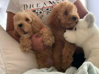 2 cavapoo puppies ready to go open too offers
