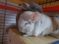 Pair of male Chinchillas with cage and accessories for sale
