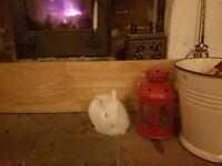 Baby white rabbits £20 each