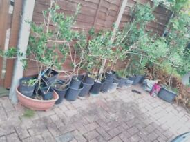 Mature Olive tree Approx 3 to 5 feet tall 6 year old stays Inside / outside