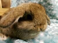 Applegarth Rabbitry. Lovely bunnies for sale.