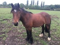 14.2hh Cob Gelding for Sale
