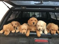 apricot labradoodles - only one boy left