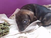 Jack Russell Cross Staffy puppies for sale