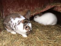Two rabbits and hutch