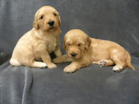 Beautiful Goldendoodle Puppies, ready 24 April