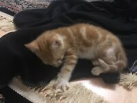 Kitten 9 weeks
