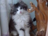 Norwegian Forest Cat kittens for sale - ready now
