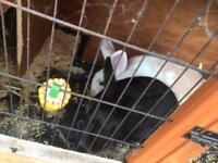 2 x male rabbits and large hutch